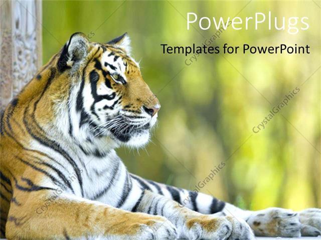 Powerpoint template beautiful tiger resting tiger at a zoo powerpoint template displaying beautiful tiger resting tiger at a zoo close up of tiger head with body toneelgroepblik Images