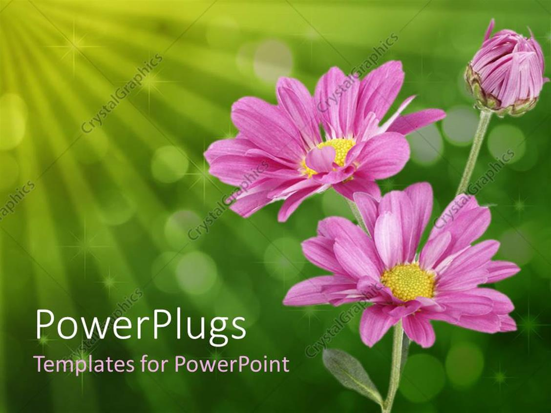 PowerPoint Template Displaying Close Up of Three Pink Daisies on Bubbled Green Background