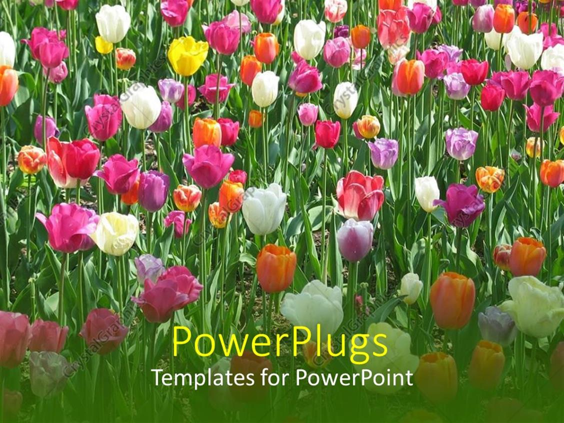 PowerPoint Template Displaying Lots of White, Pink, Orange and Yellow Tulips with Grass