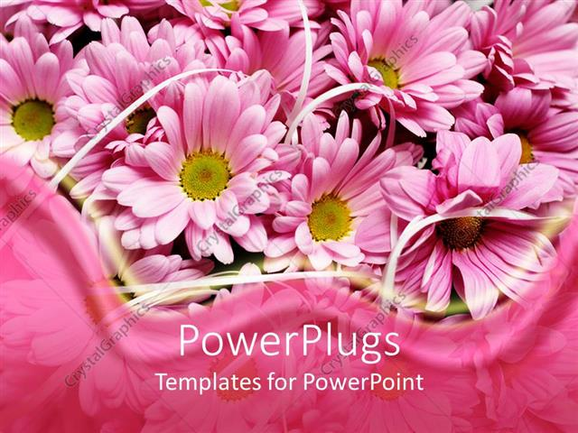 PowerPoint Template Displaying Pink Daisy Flowers with Pink Wave Border