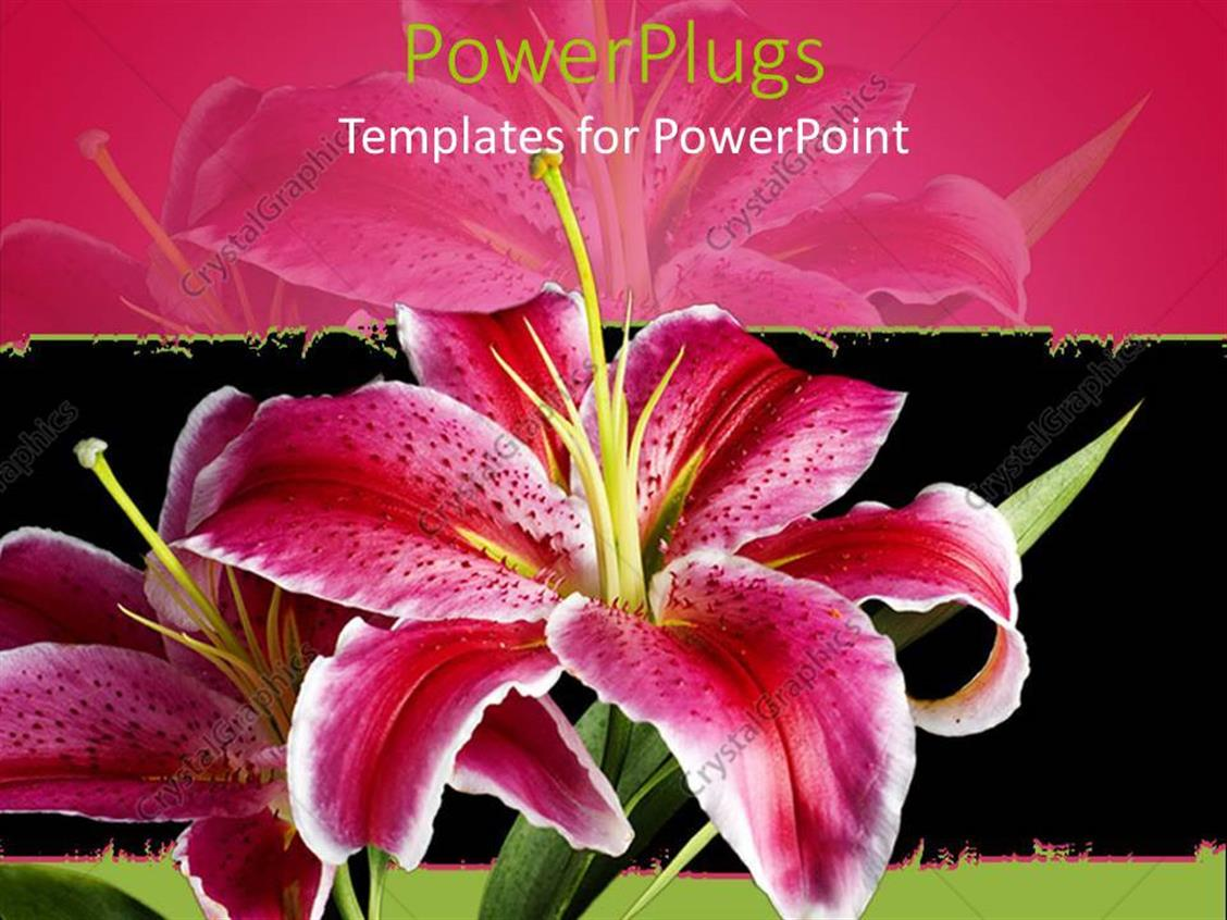 PowerPoint Template Displaying Pink and White Lily on Black and Pink Background